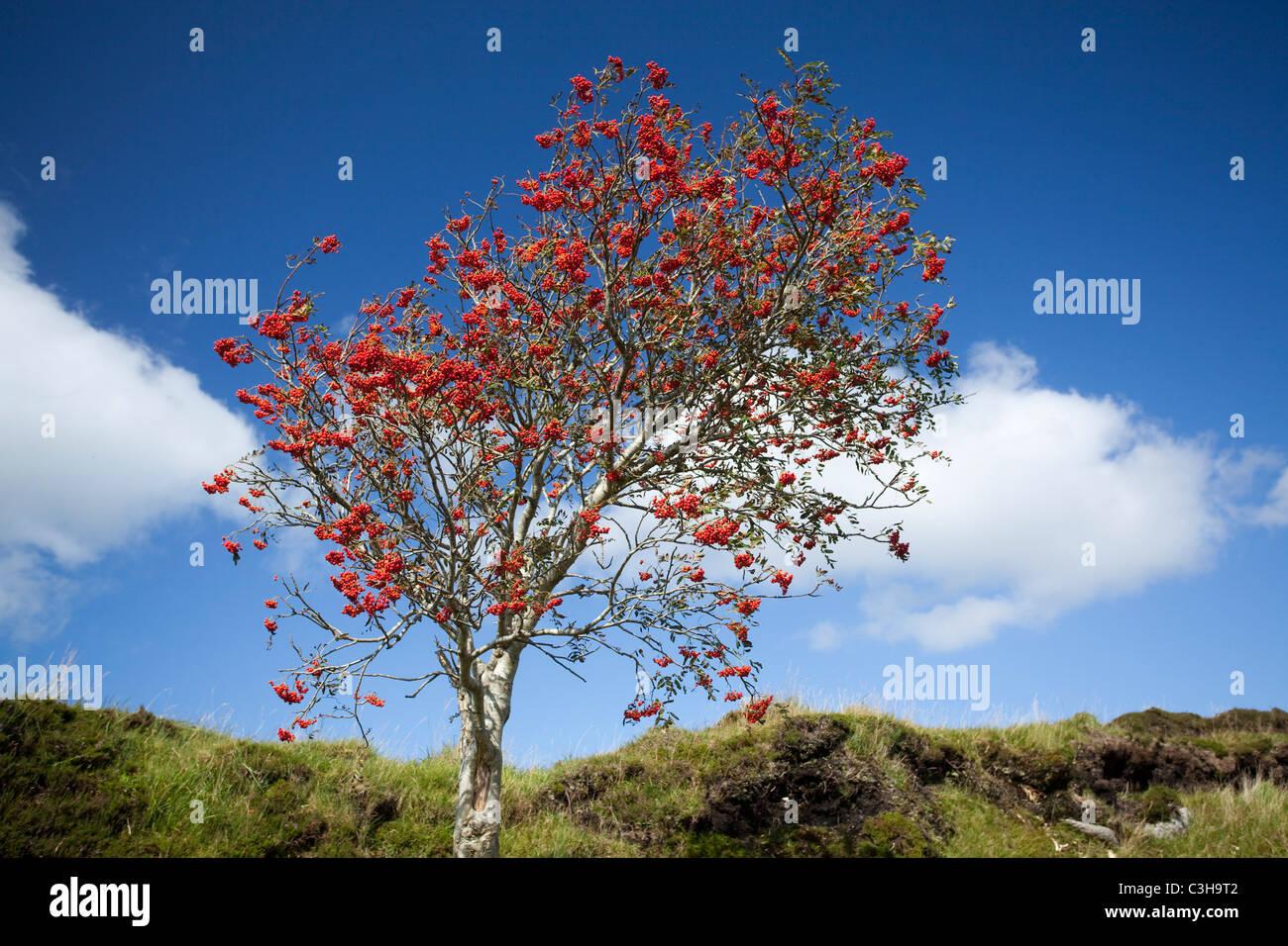 Autumn berries on a mountain ash tree (sorbus aucuparia), Ox Mountains, County Sligo, Ireland. - Stock Image