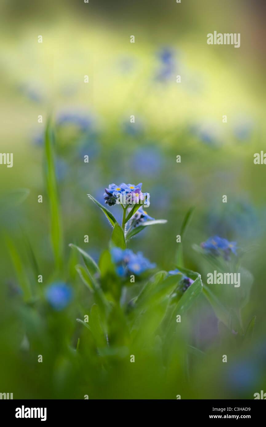 Forget-me-not flowers - Myosotis sylvatica - Stock Image