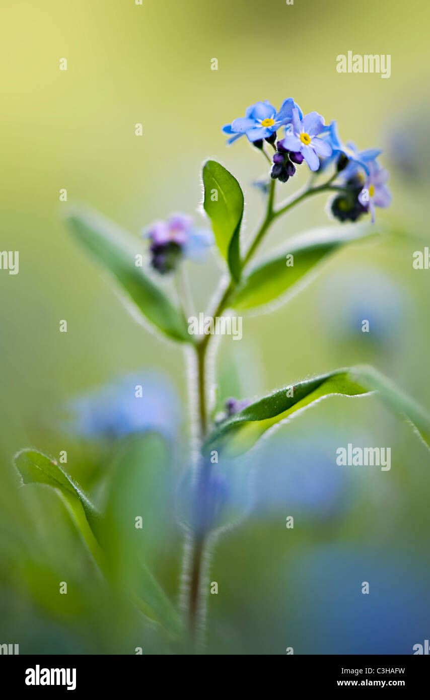 Forget-me-not flowers - Myosotis sylvatica - Stock Image