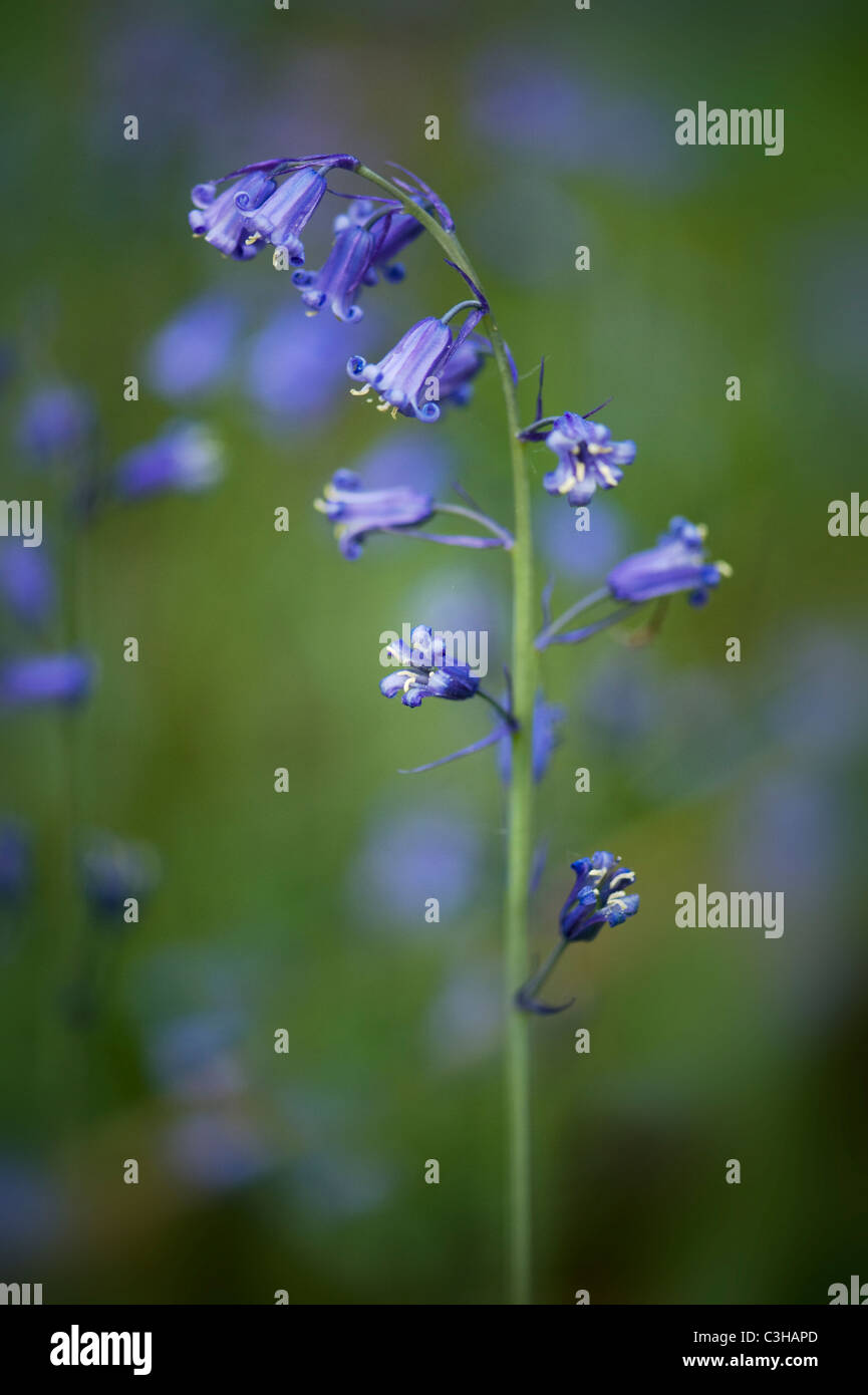 English Bluebells - Hyacinthoides non-scripta Stock Photo