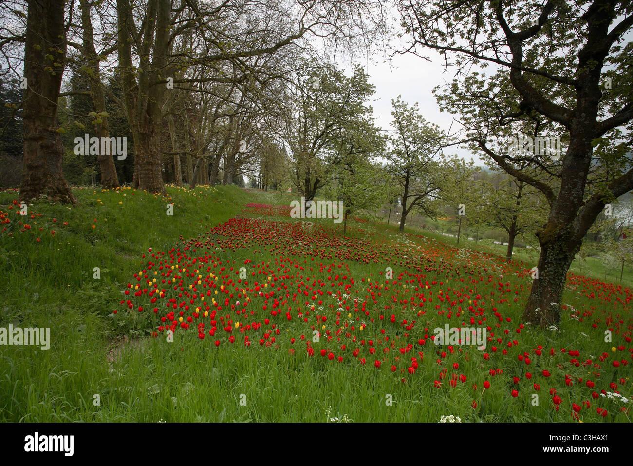 Tulpen, Tulipa-Hybriden, Feld, Tulipa, Tulips, field, Insel Mainau, Isle, Deutschland, Germany Stock Photo