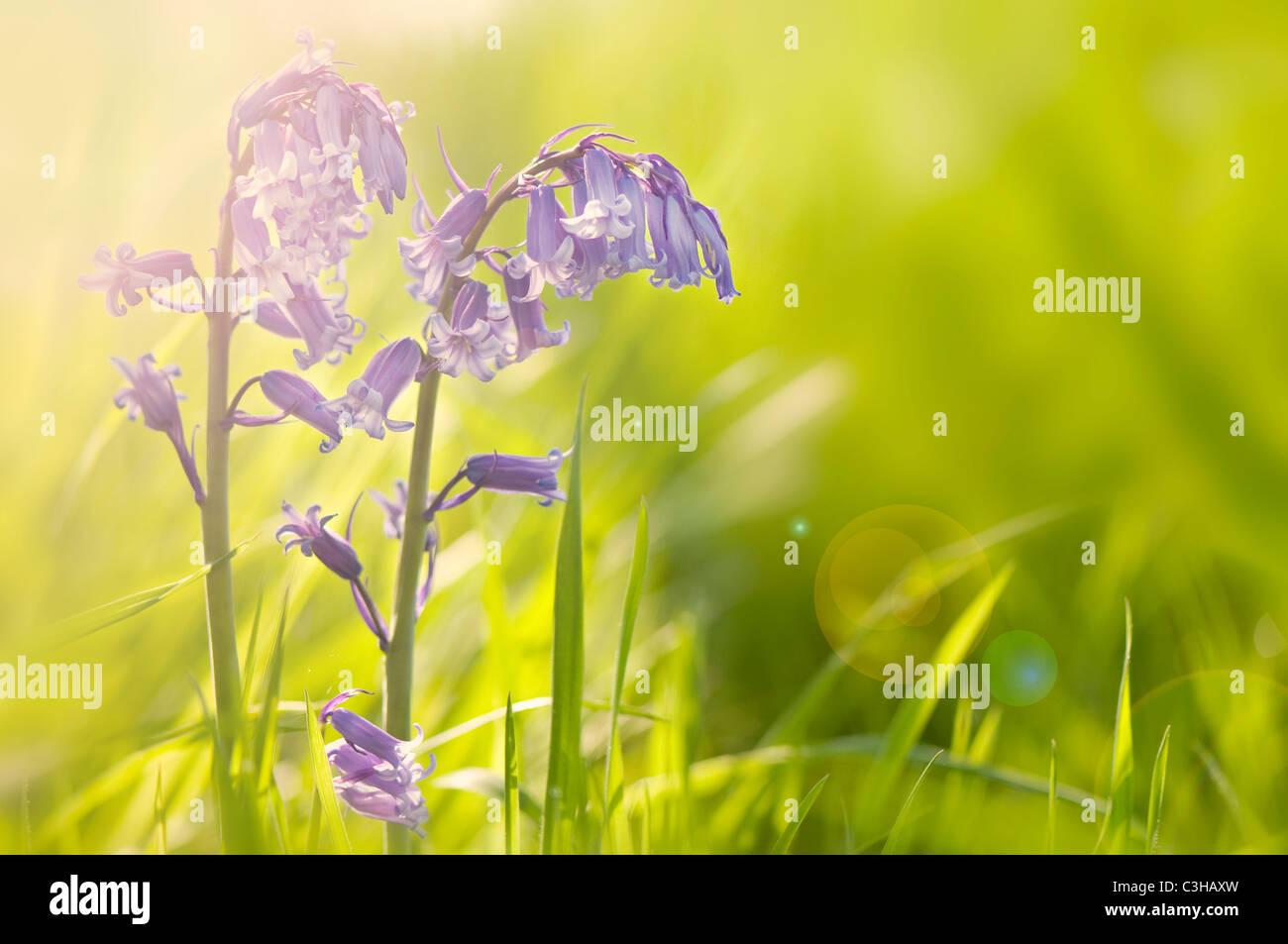 English Bluebells - Hyacinthoides non-scripta with sun flare - Stock Image