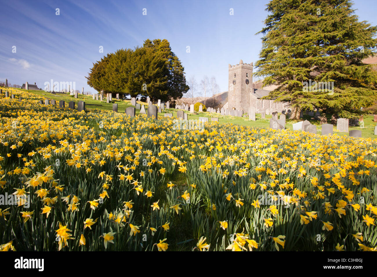 Wild Daffodils (Narcissus pseudonarcissus) flowering in Spring, in Troutbeck churchyard, Lake District, UK. - Stock Image