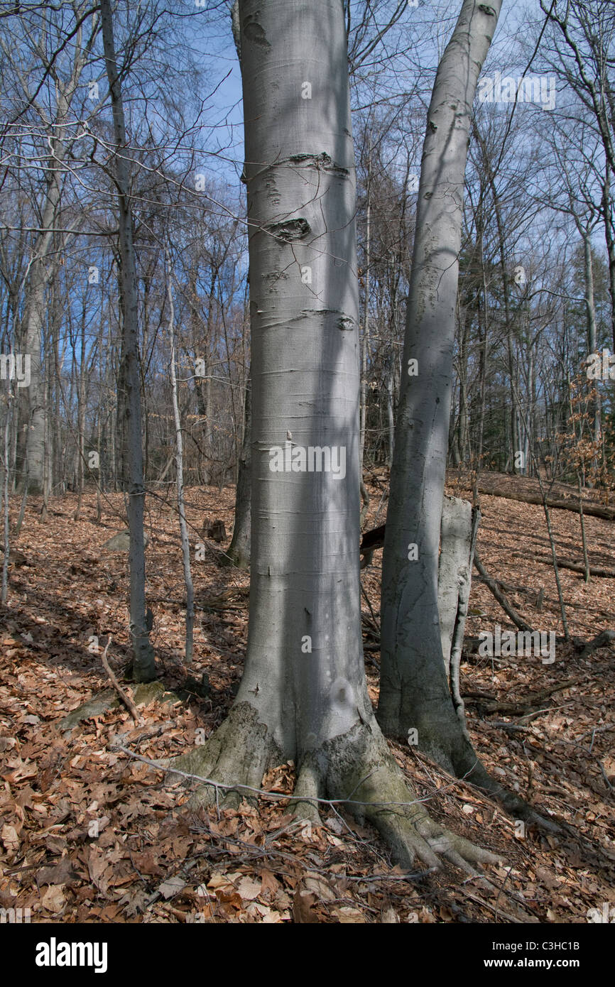 Deciduous Forest with American Beech Trees Fagus grandifolia Eastern USA - Stock Image