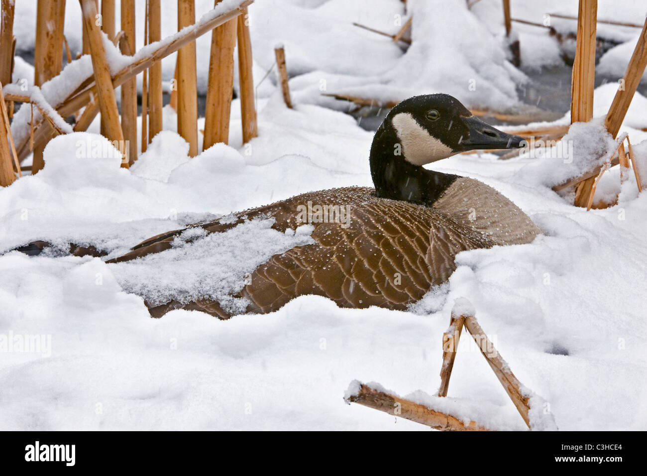 Canada Goose Branta canadensis on her nest in April snow storm Michigan USA - Stock Image