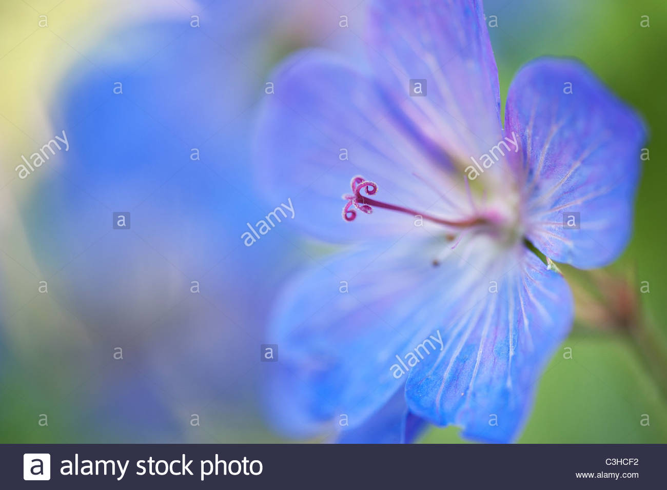 Geranium flower stock photos geranium flower stock images alamy geranium johnsons blue flower and bud selective focus stock image izmirmasajfo