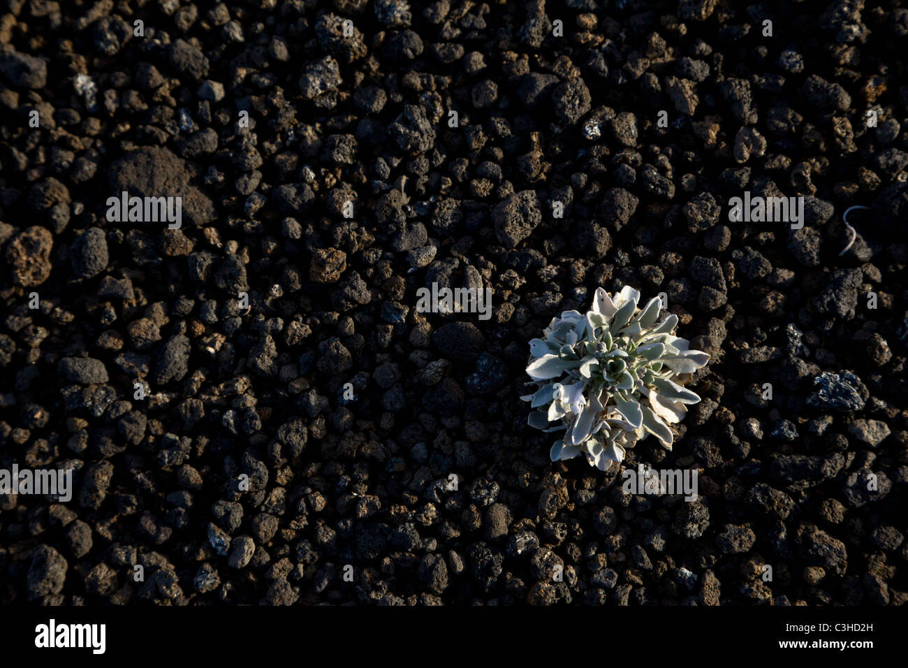 Small plant growing in the Cinder Hills of Sunset Crater Volcano National Monument, Arizona, USA. - Stock Image