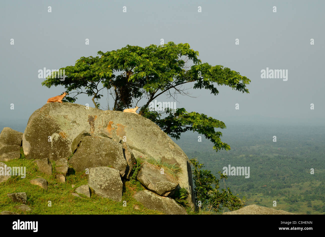 Goats on rock near Butembo, Eastern Democratic Republic of Congo in January 2011. View over the Ituri forest of Stock Photo
