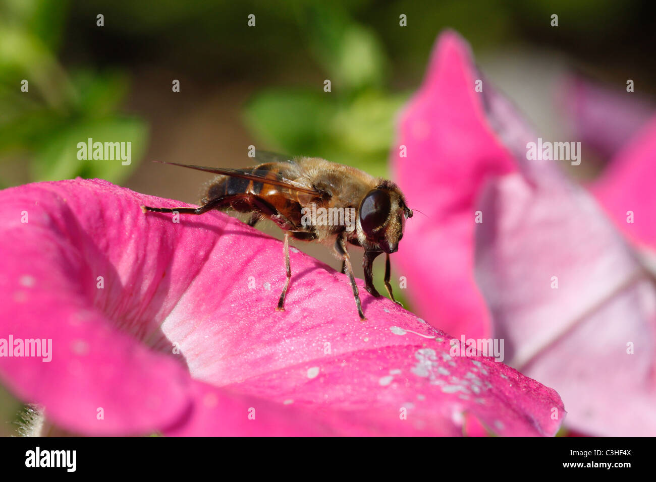 A bee feeding on nectar from a flower. - Stock Image
