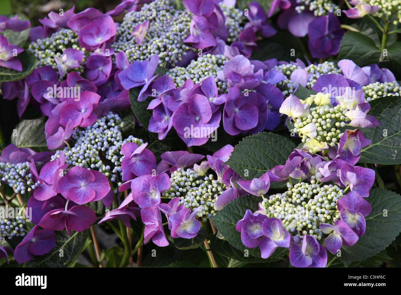 Hortensien, lila, Blueten, Hydrangea, Hortensia, purple blossom - Stock Image