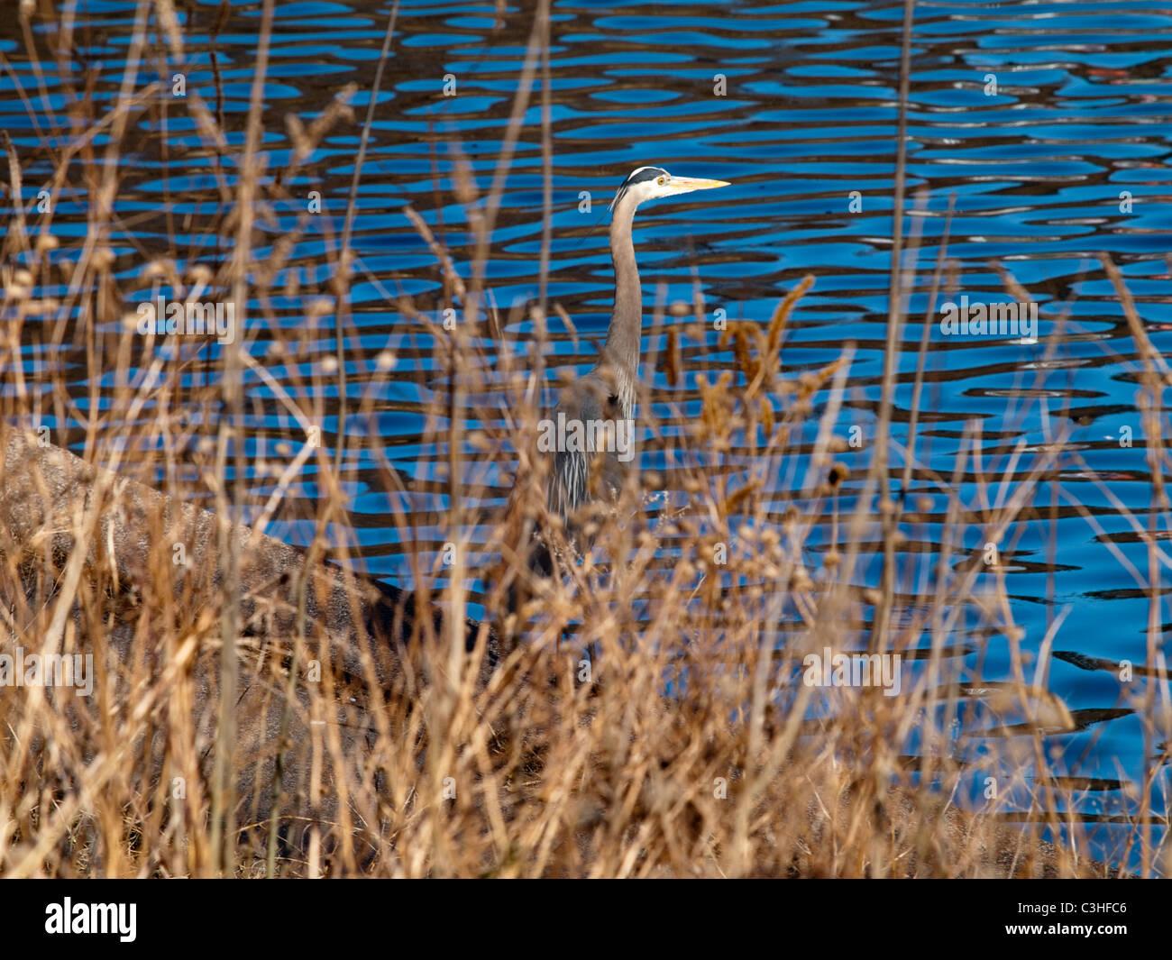 great blue heron at Powderhorn Lake, Minneapolis, MN, USA, May 2011 - Stock Image