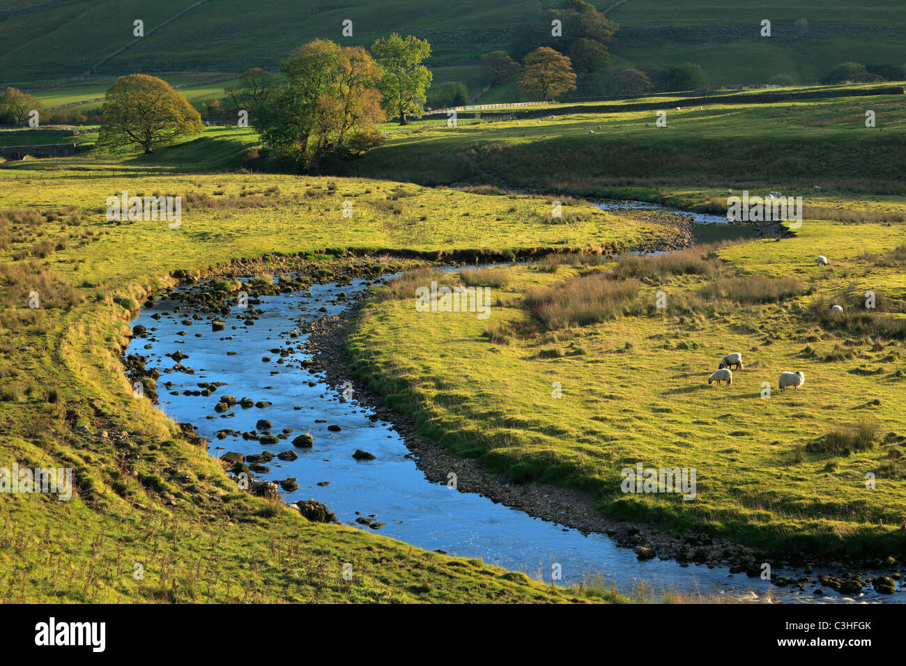 Sheep graze next to a stream amidst the early autumn colors of Littondale in the Yorkshire Dales of England - Stock Image