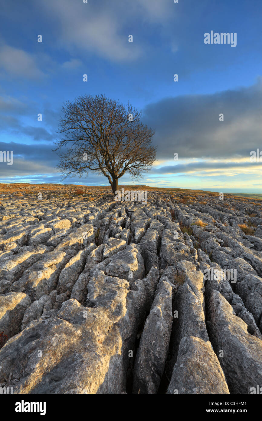 A lone hawthorn tree grows amidst the limestone pavement of Malham Lings over Malham in the Yorkshire Dales of England - Stock Image