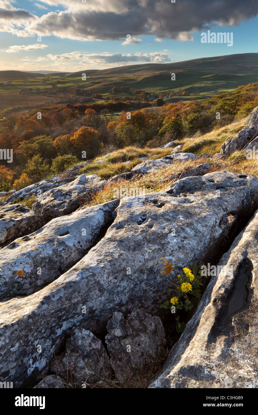 Early autumn flowers grow amidst the limestone clints and grykes over Malham Tarn in the Yorkshire Dales of England - Stock Image