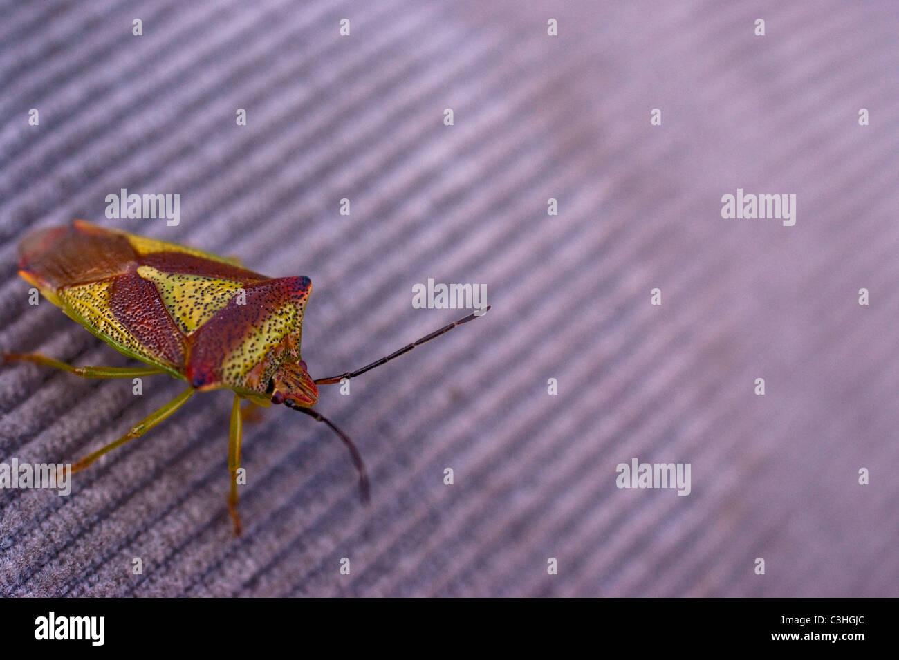 Hawthorn sheild bug - Stock Image