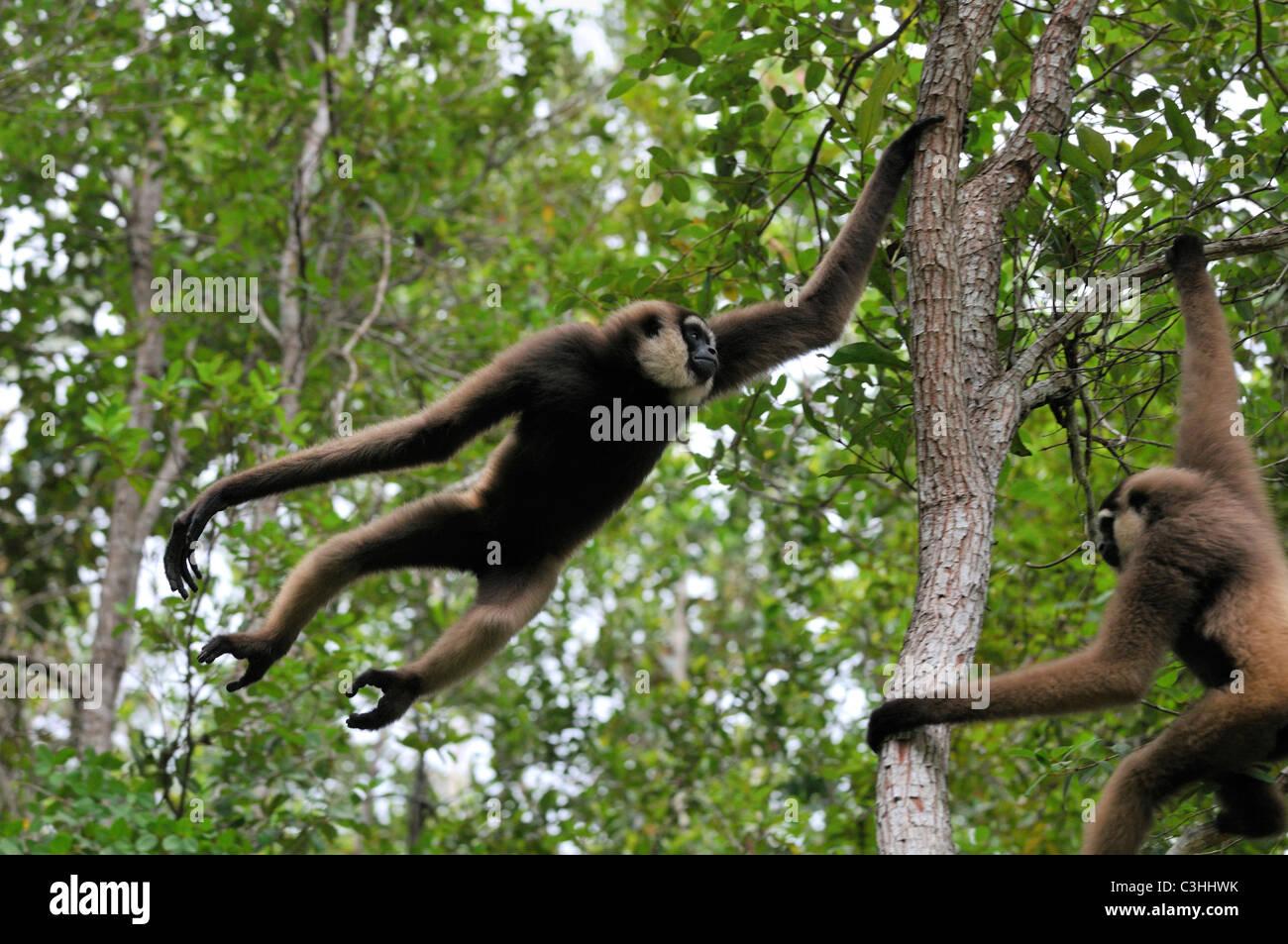 Bornean agile gibbon Hylobates albibarbis white-bearded gibbon whitebaerded original wildlife - Stock Image