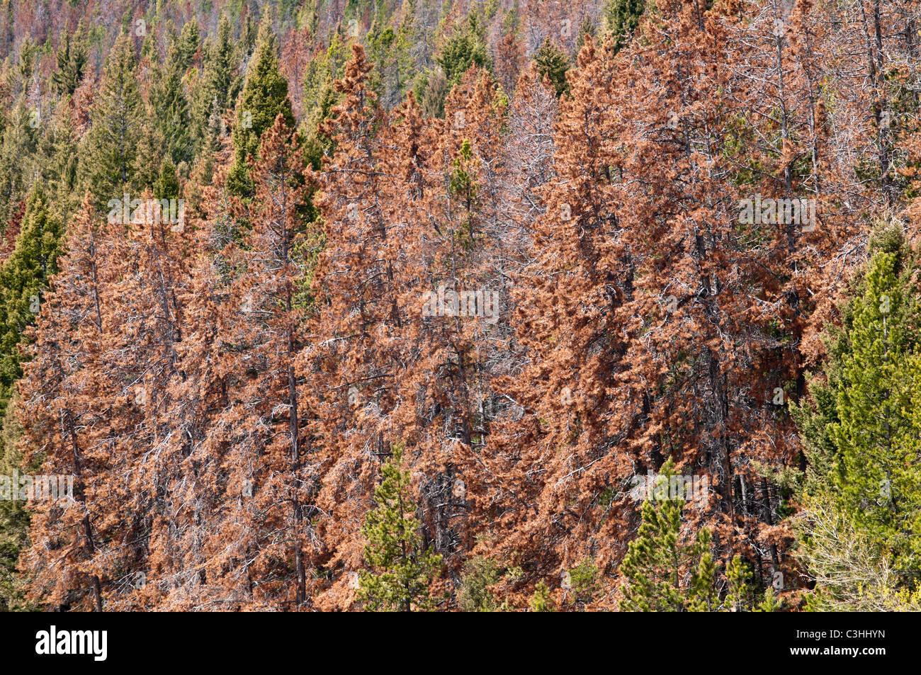 Mountain Pine Beetle-killed trees at MacDonald Pass near Helena Montana. - Stock Image