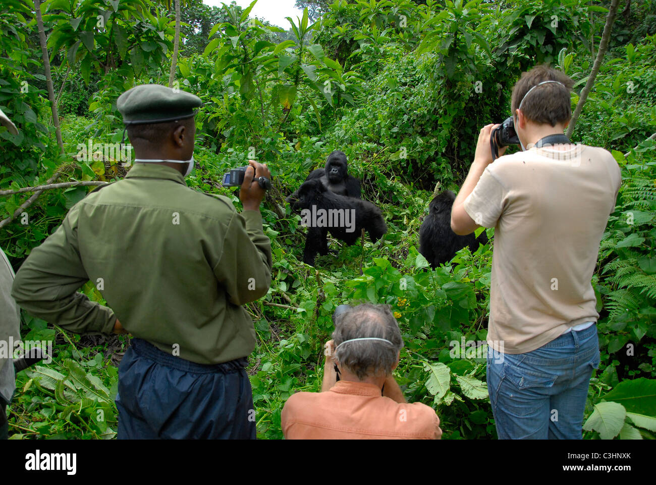 Photographing gorillas at Buhimo in the Virunga National park, Democratic Republic of Congo. Silverback Humba, with - Stock Image