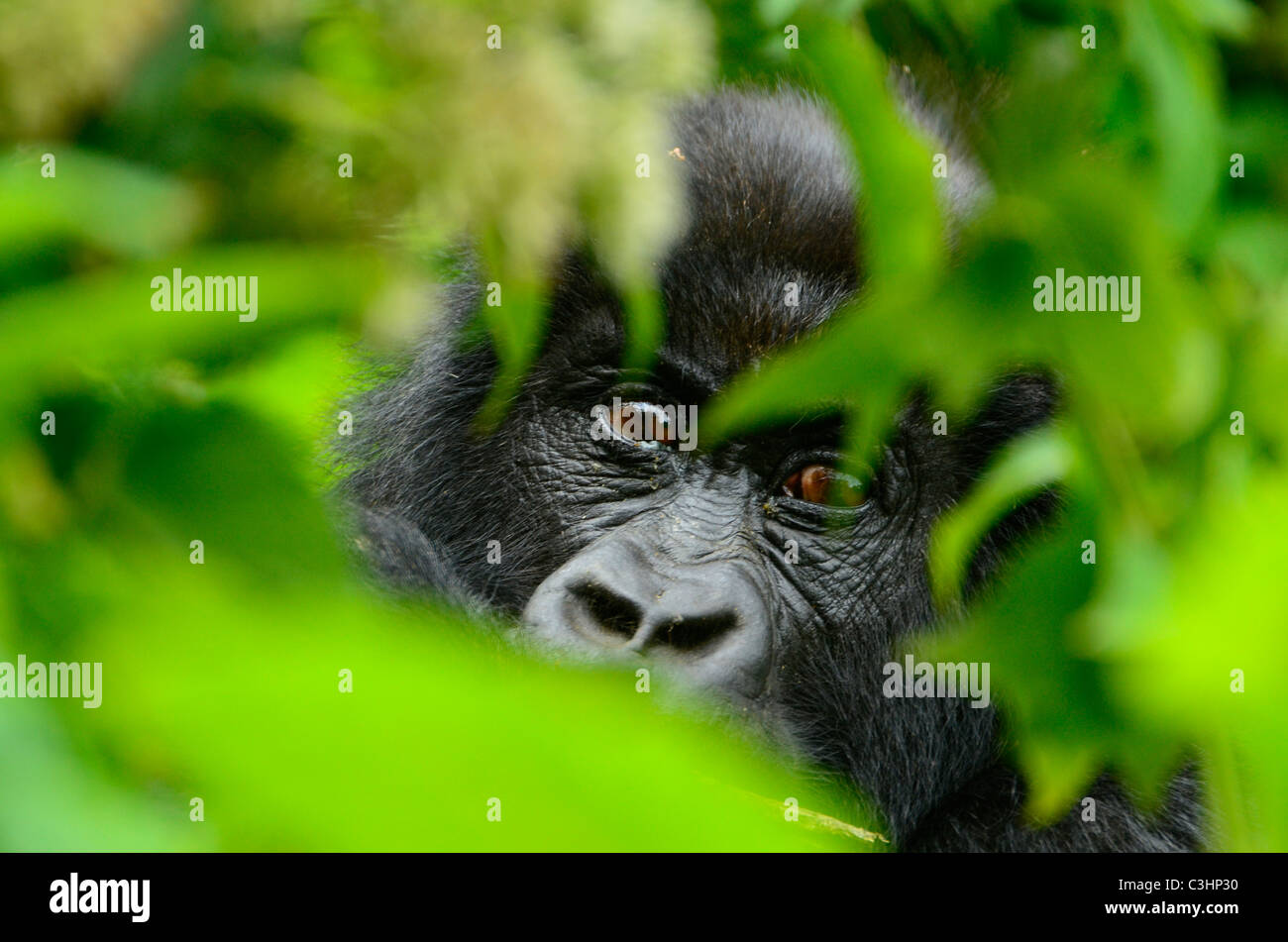 Gorilla trekking at Buhimo in the Virunga National park, Democratic Republic of Congo. Young gorilla staring through - Stock Image