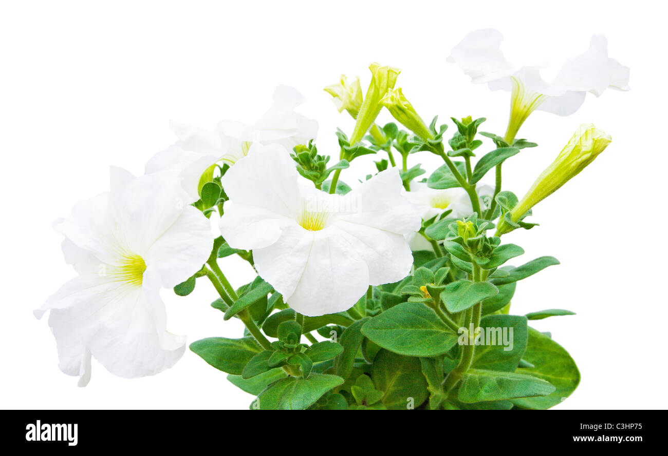 hothouse plant a petunia for landscape design isolated on a white background - Stock Image