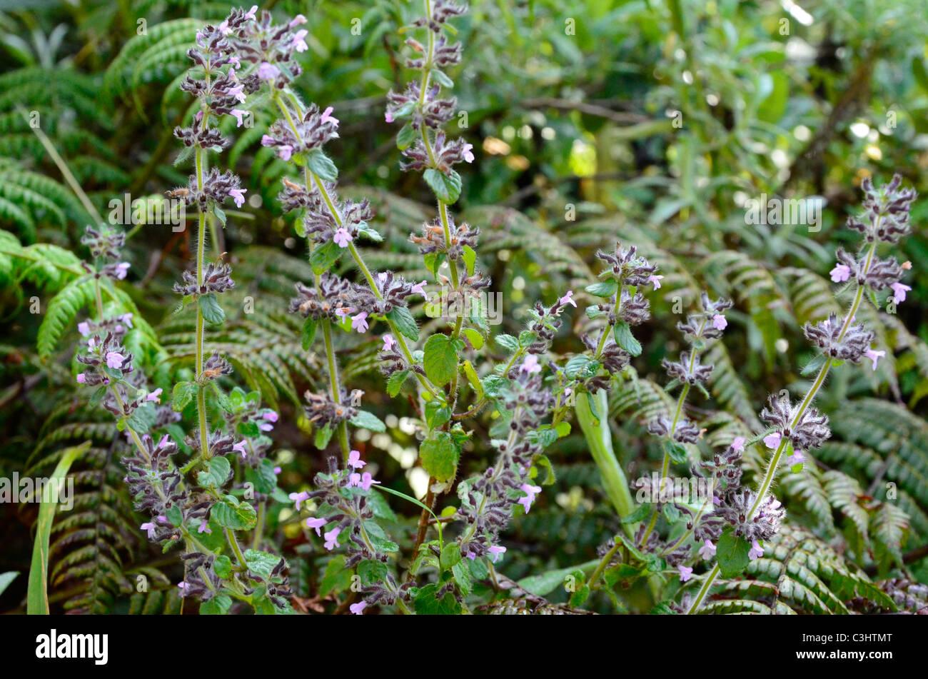 Alpine flowers on Mount Nyiragongo in Virunga National Park, eastern Democratic Republic of Congo. - Stock Image