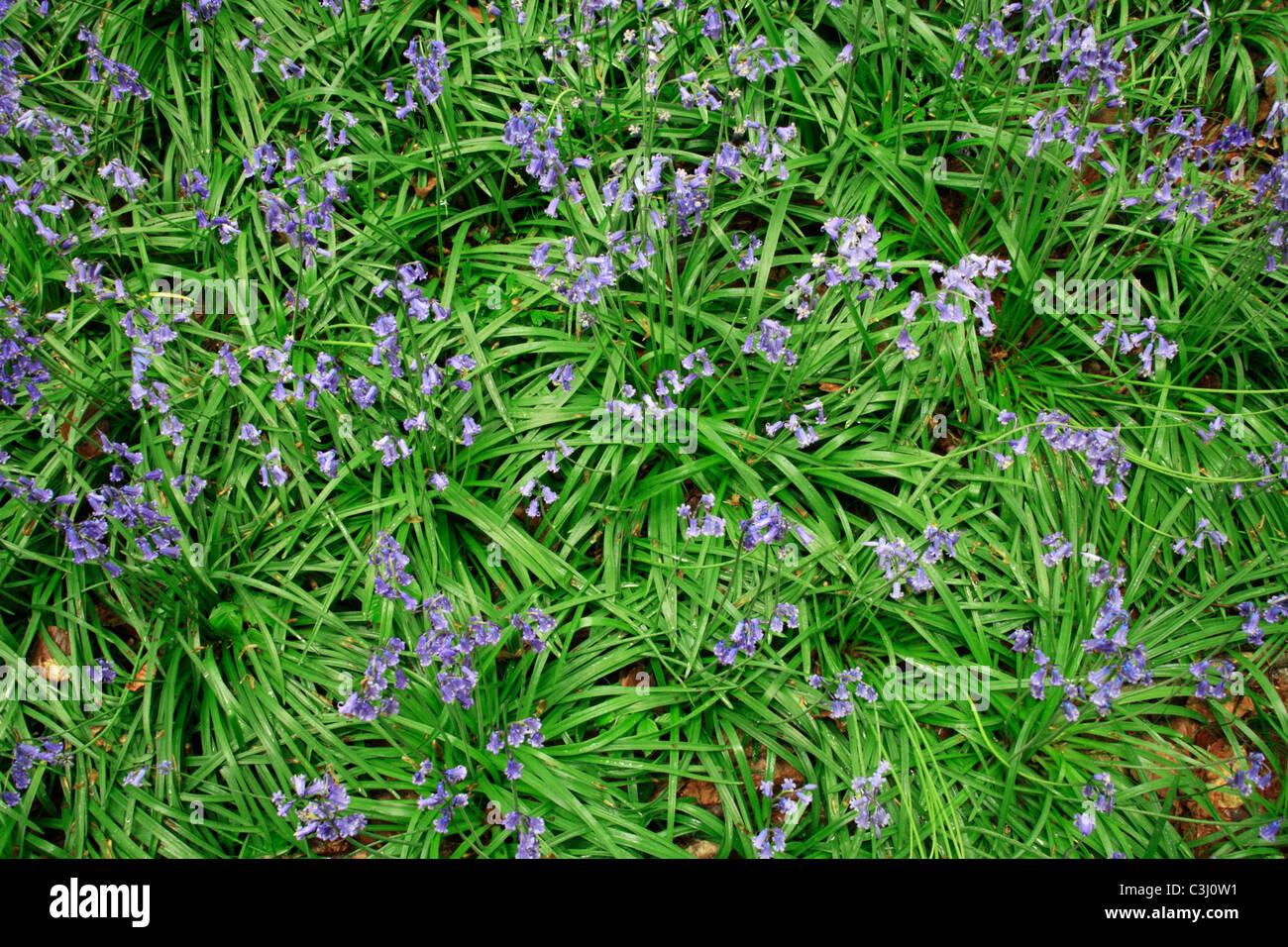 Hasengloeckchen, Scilla non-scripta, Endymion nonscriptus, Common Bluebell Stock Photo