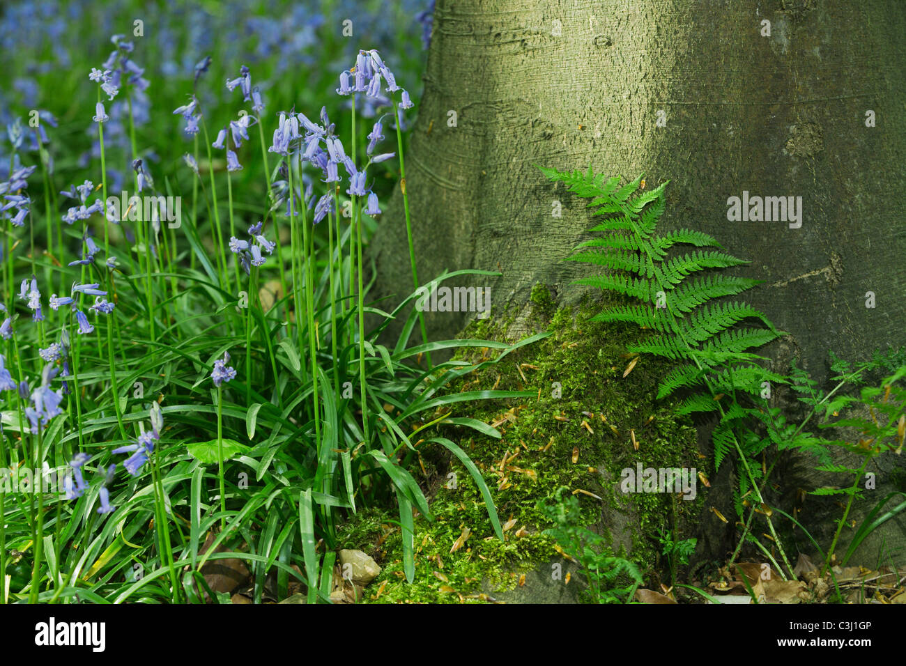 Hasengloeckchen, Scilla non-scripta, Endymion nonscriptus, Common Bluebell Stock Photo