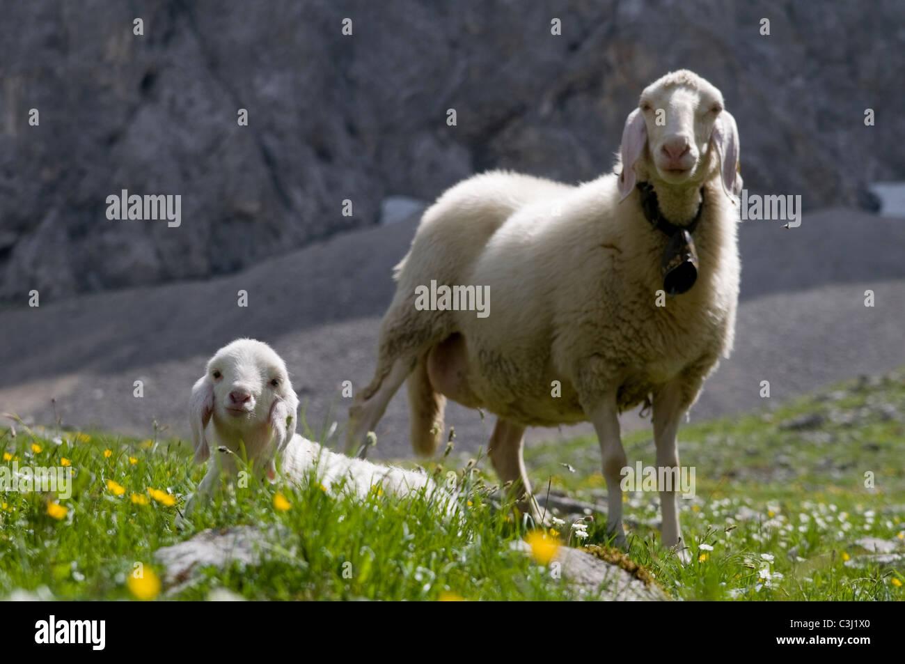 Lamm Stock Photos & Lamm Stock Images - Alamy