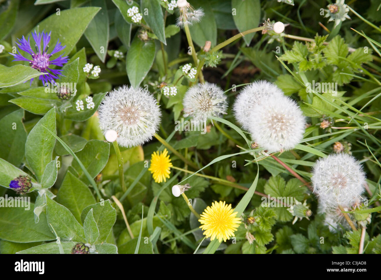 Weeds on allotment - Stock Image