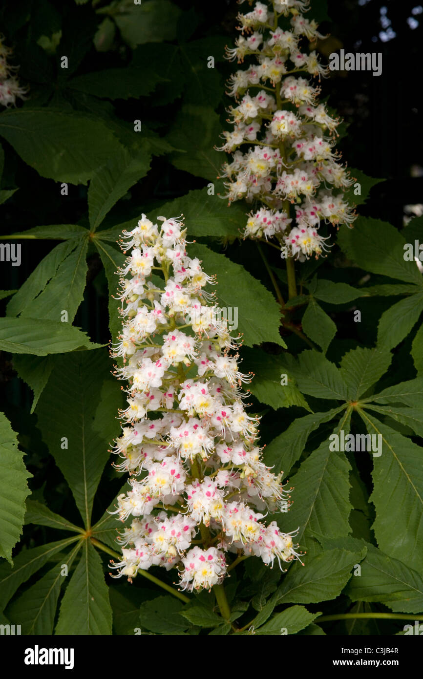 Horse Chestnut Candles Stock Photos Horse Chestnut Candles Stock