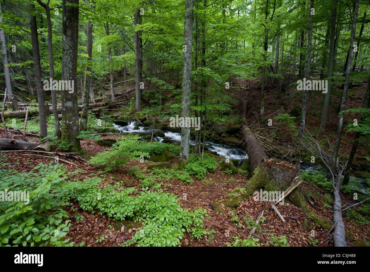 Bach im Nationalpark Bayerischer Wald, Creek in Bavarian forest national park, Deutschland, Germany Stock Photo