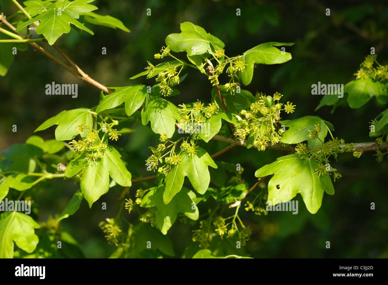 Young Leaves And Flowers On Field Maple Tree Acer Campestre In
