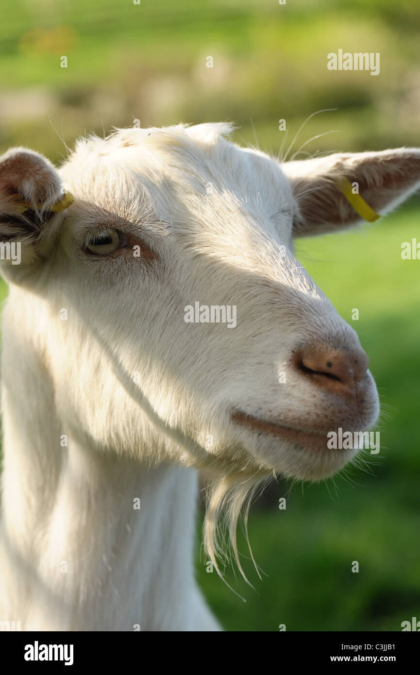 Head of an alert neutered Saanen wether goat with slight beard and ear tags - Stock Image