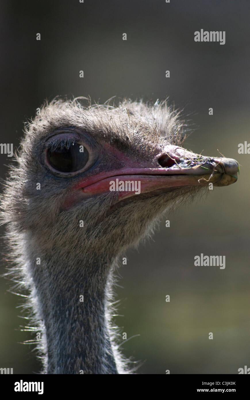 Close up of an Ostridge head - Stock Image