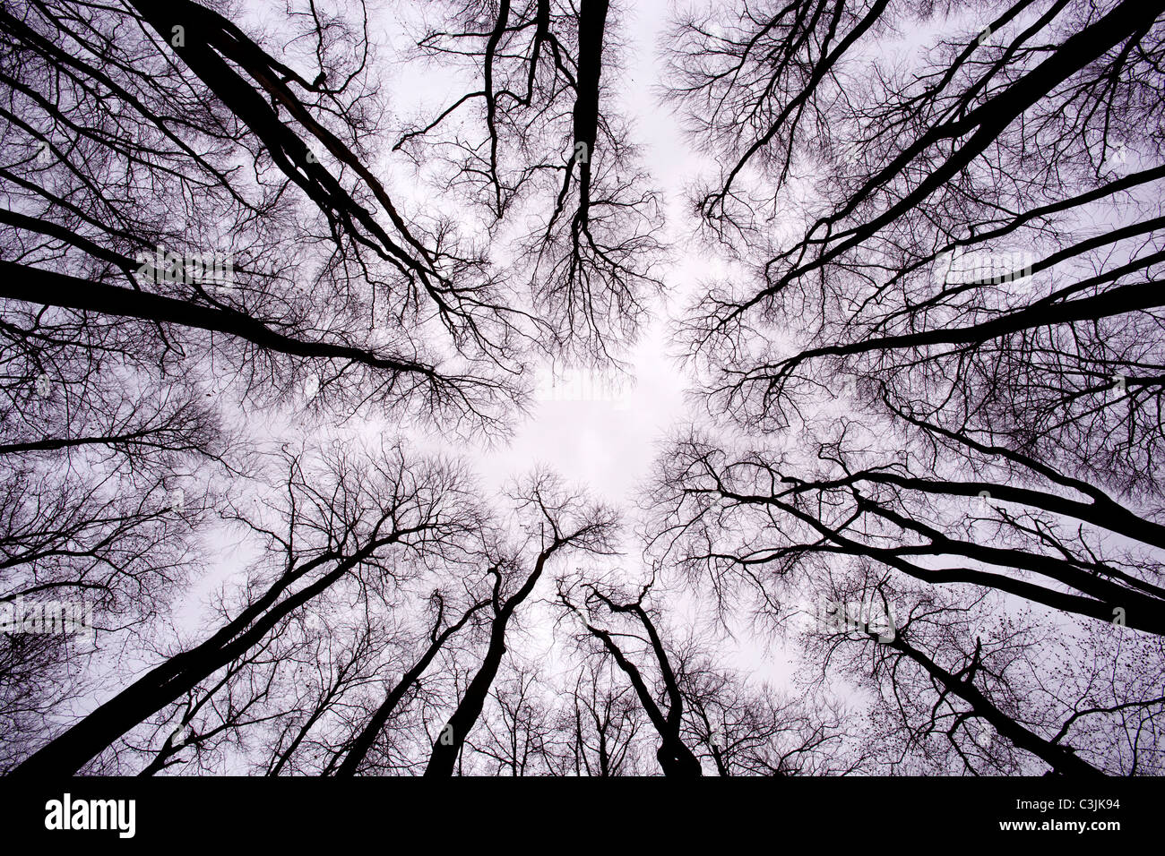 Silhouetted circular enclosed view upwards of winter bare trees in English woodland giving a spooky enchanted feel - Stock Image
