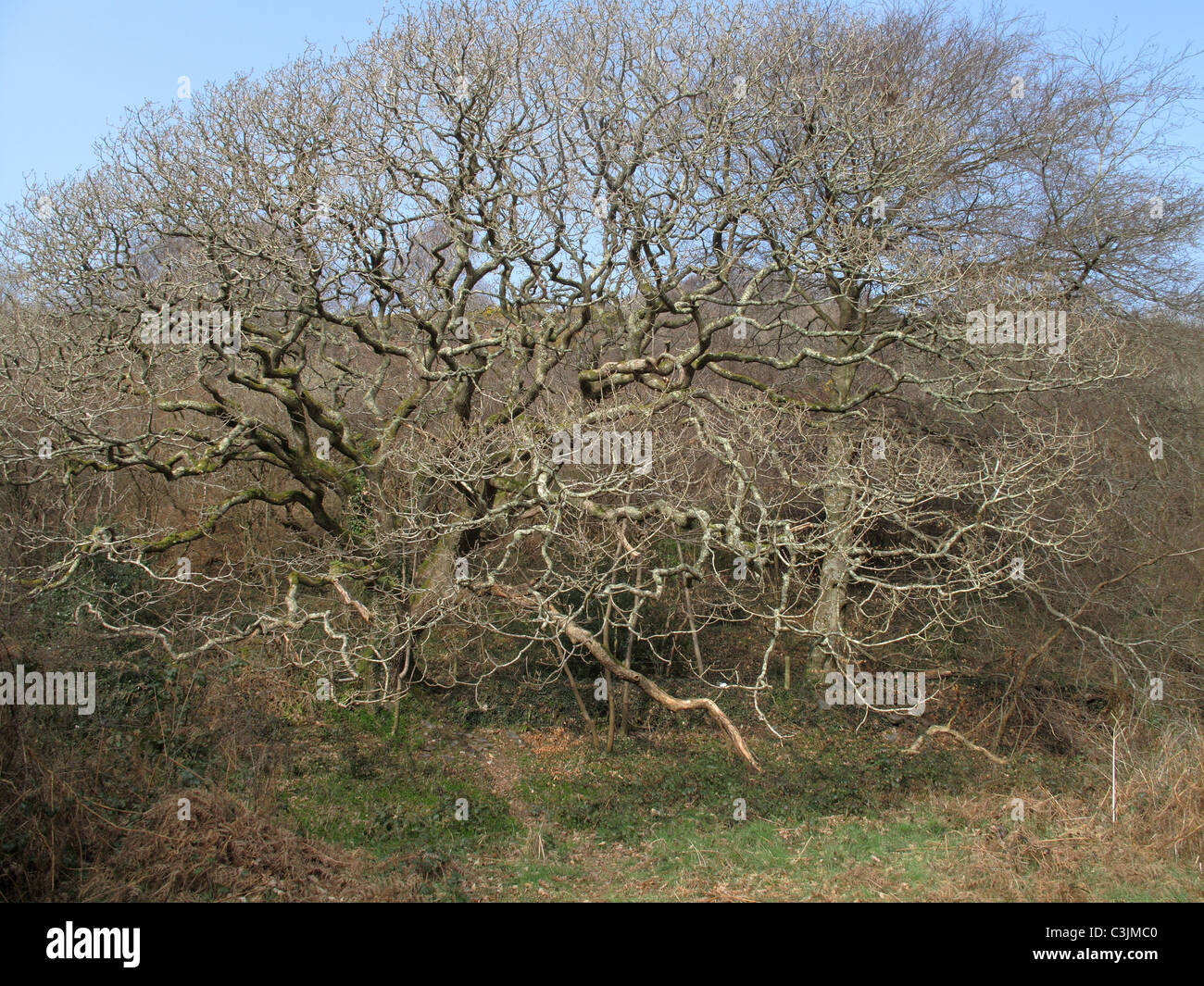 European oak (Quercus robur) leafless old tree with lichen covered branches in early spring - Stock Image