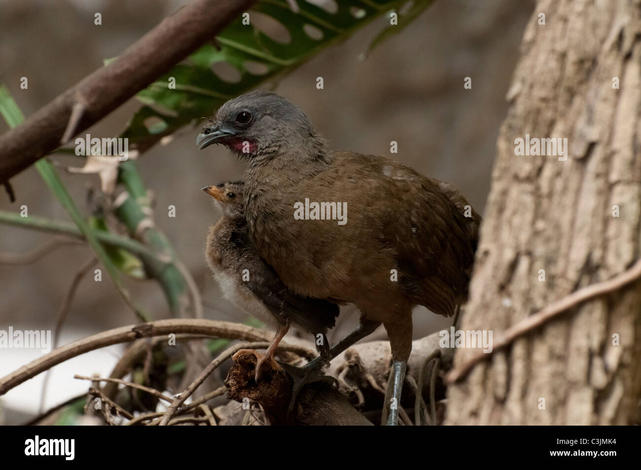 A Plain Chachalaca adult and chick. - Stock Image
