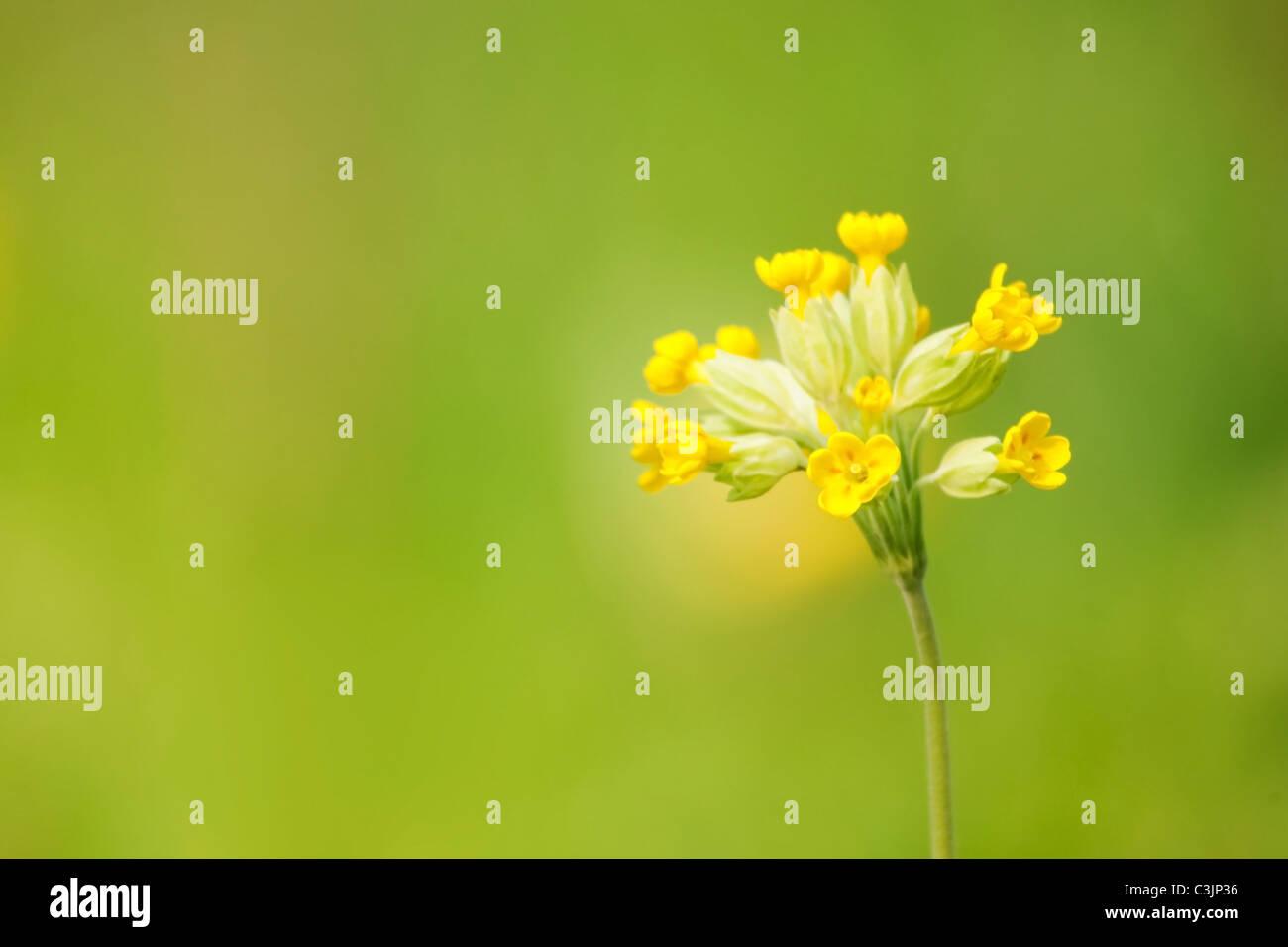Cowslip (Primula veris), Cheshire, UK. Stock Photo
