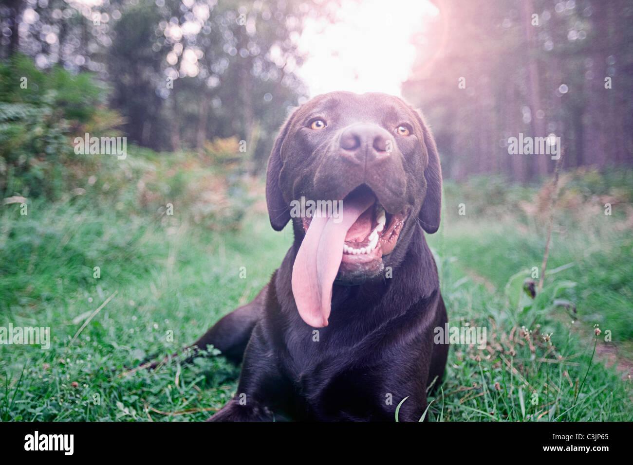 Dog panting on grass - Stock Image