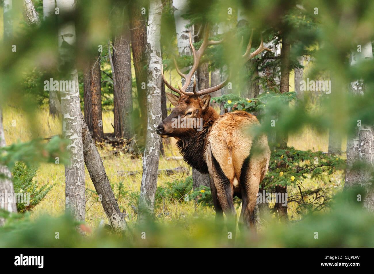 Canada, Alberta, Elk in jasper national park - Stock Image