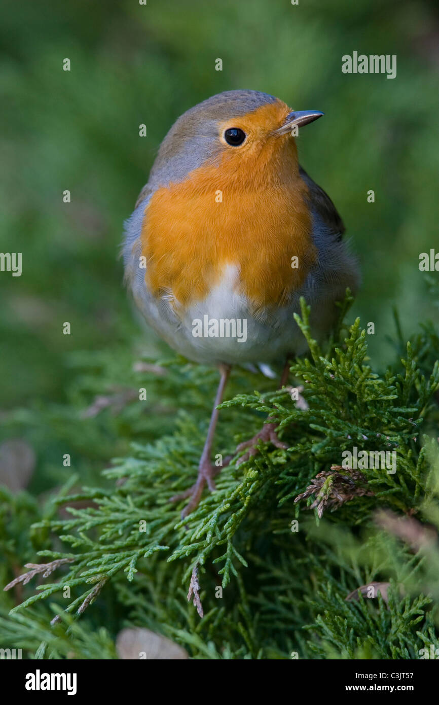 Rotkelchen, Erithacus rubecula, European robin - Stock Image