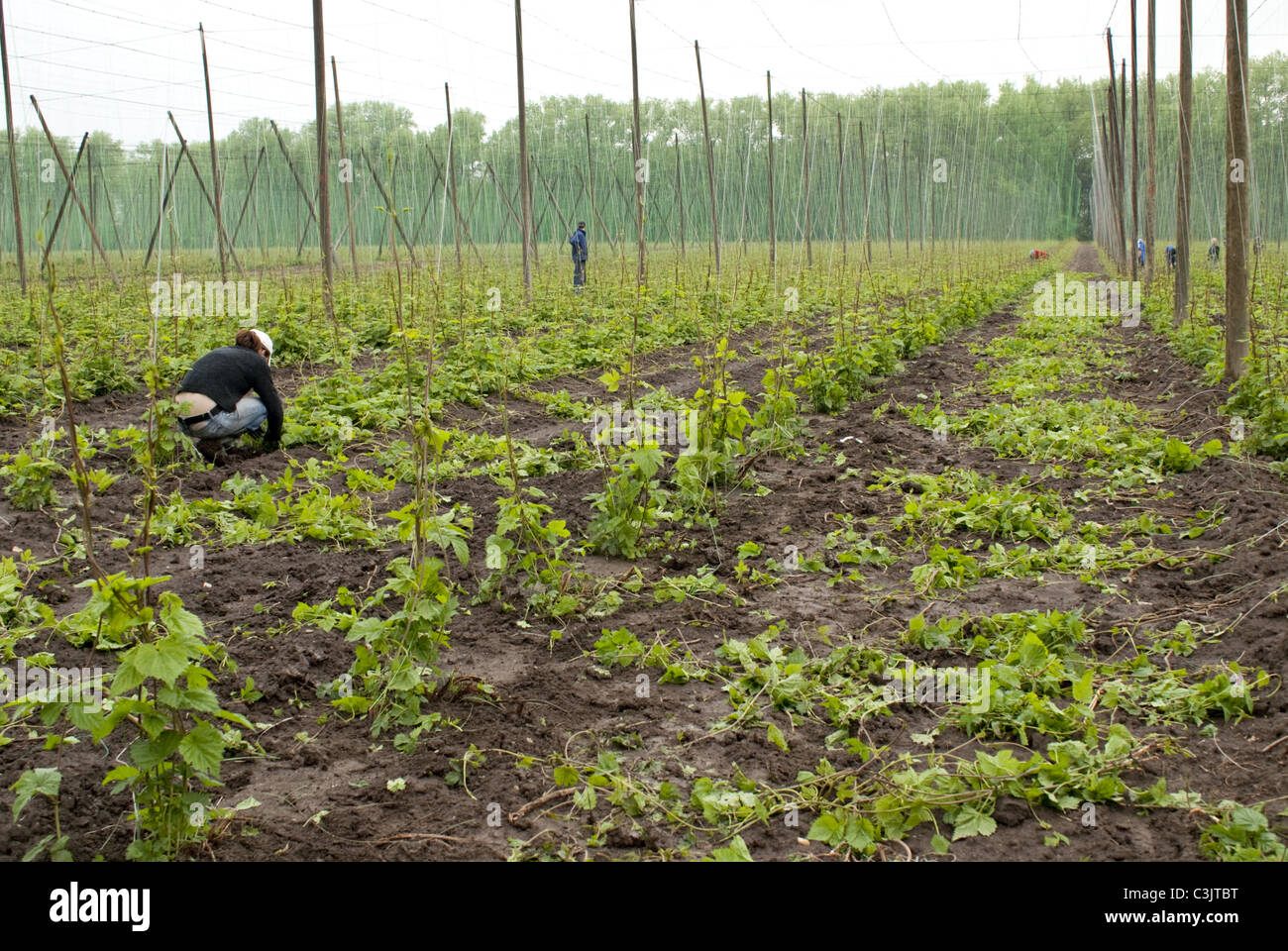 hop-field in May - Stock Image