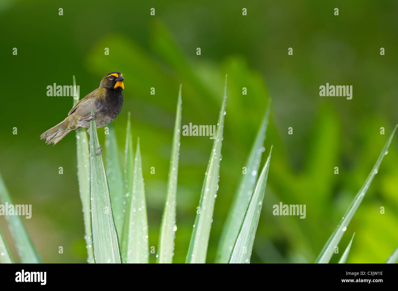 A male Yellow-faced Grassquit (Tiaris olivacea) perches on a dewy plant. - Stock Image