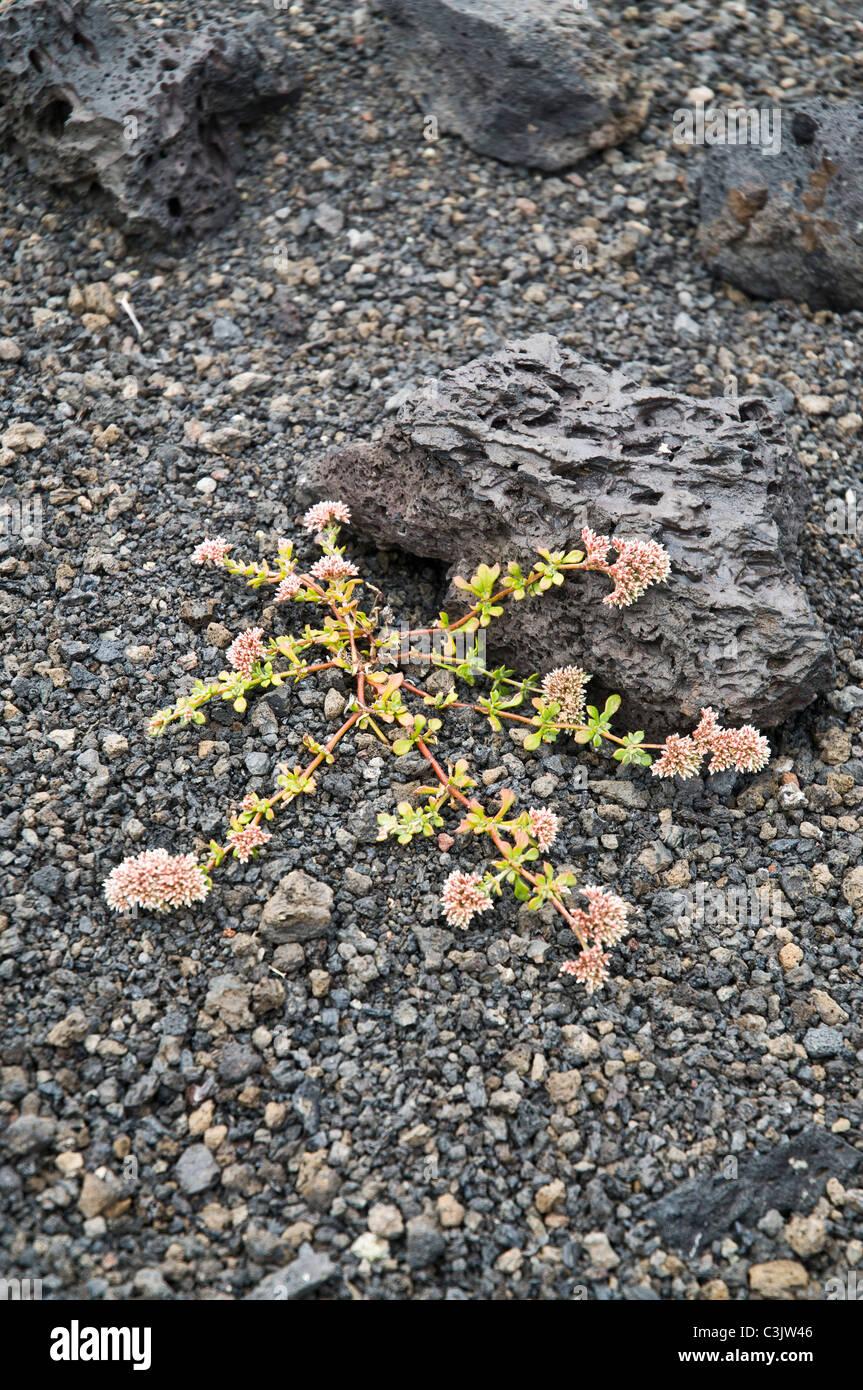 dh  FLORA LANZAROTE Volcano lava stones flower growing volcanic lava - Stock Image