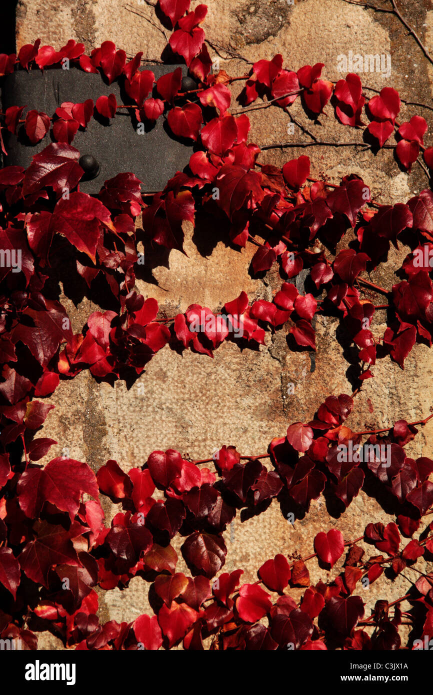 red leaves climbing a wall - Stock Image
