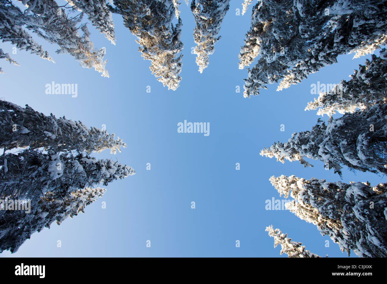 View of snow covered spruce ( Picea Abies ) treetops in the forest , Finland Stock Photo