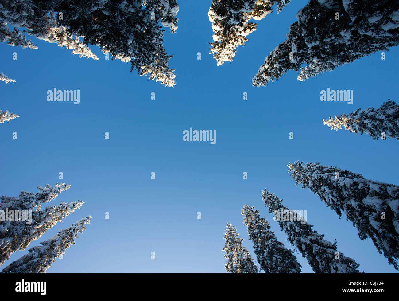 View of snow covered spruce ( Picea Abies ) treetops in the forest , Finland - Stock Image