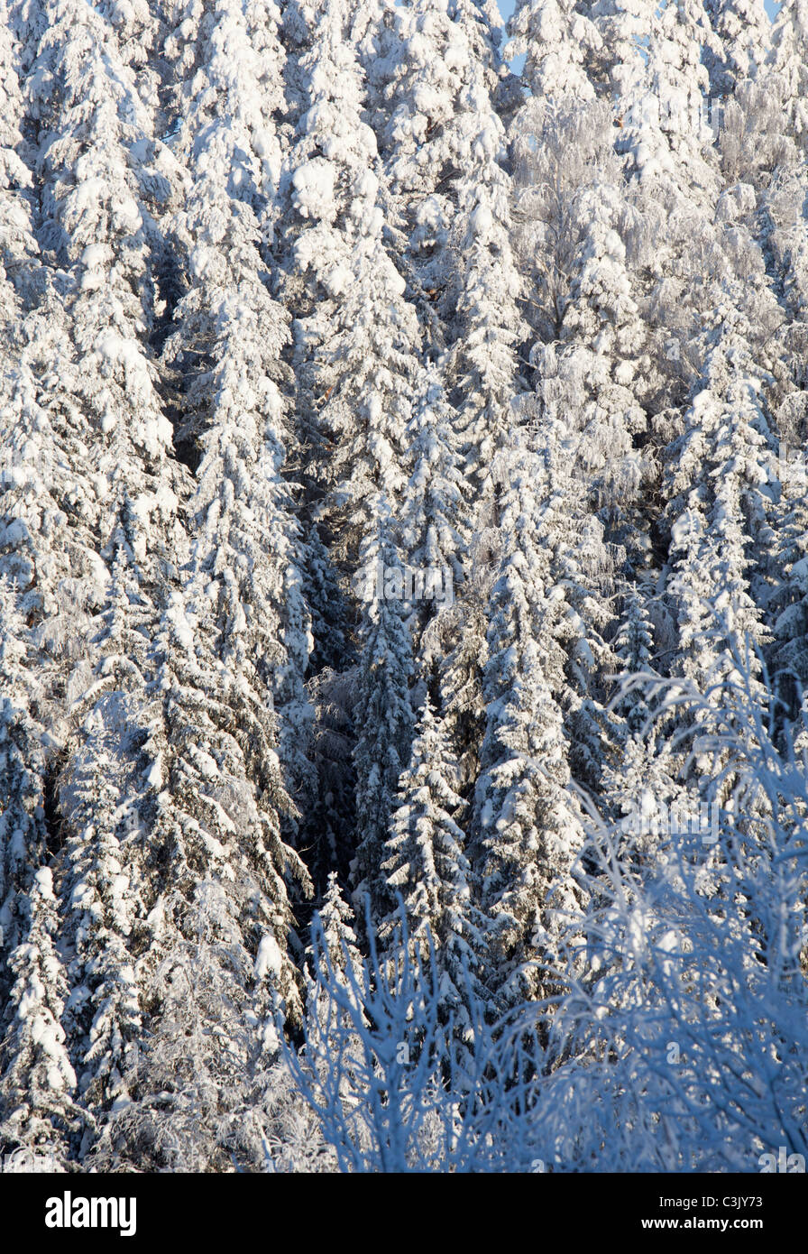 View of snow covered spruce ( Picea Abies ) trees in the forest , Finland - Stock Image