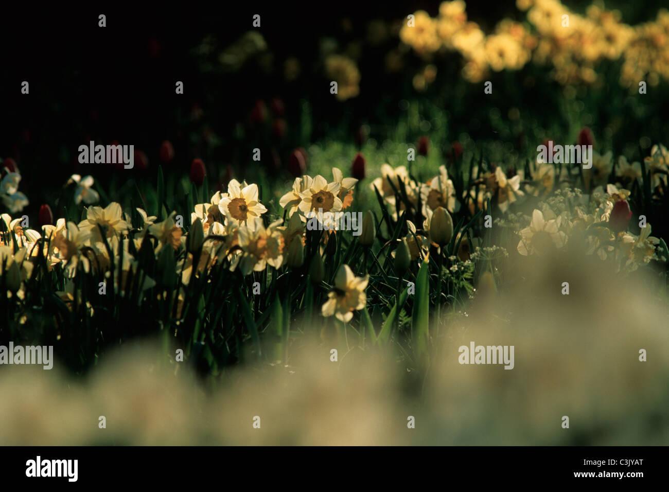 Osterglocke, Narzisse, Narcissus, Daffodils, Insel Mainau, Deutschland, Germany - Stock Image