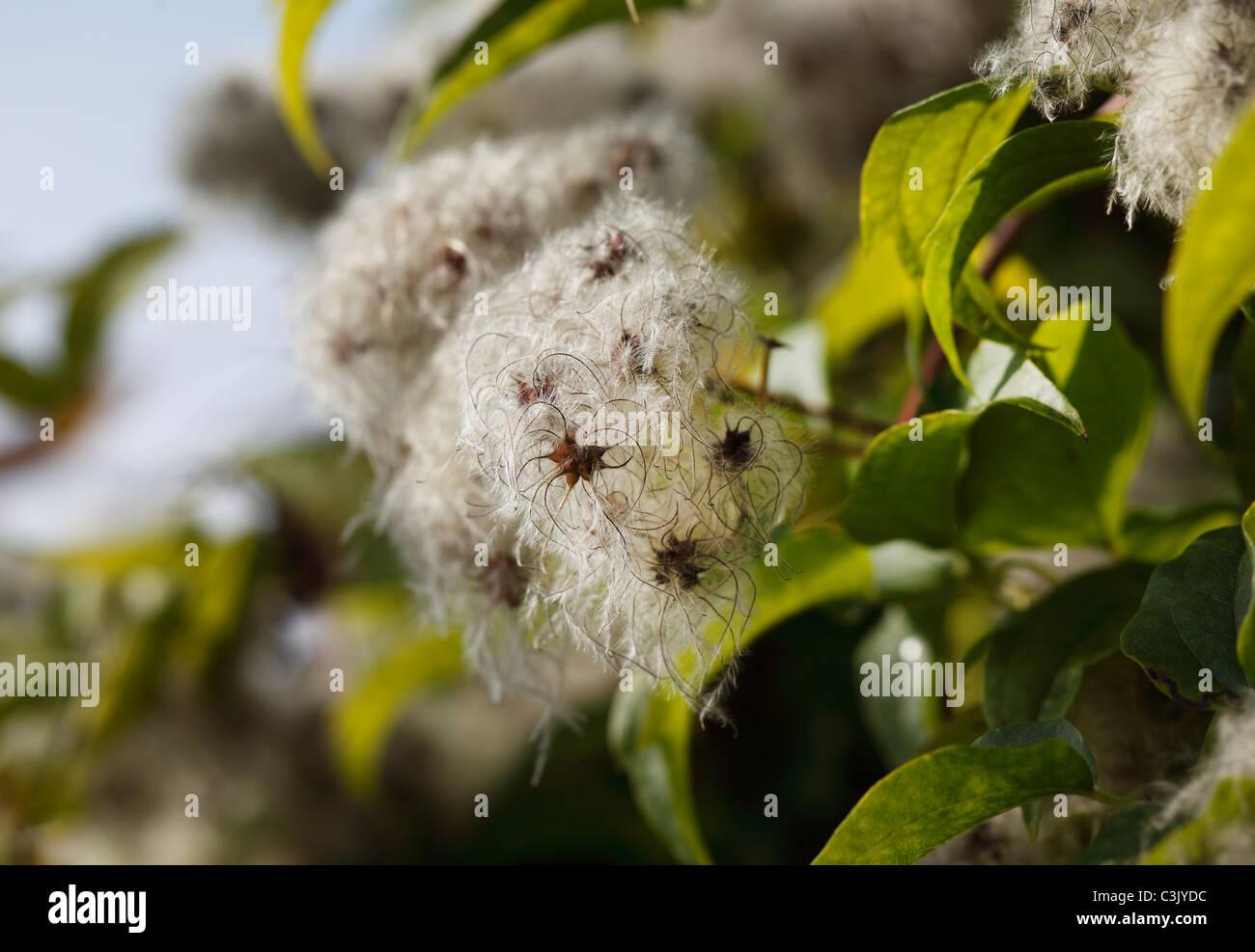 Austria, Traveller's joy fruit (Clematis vitalba), close-up - Stock Image